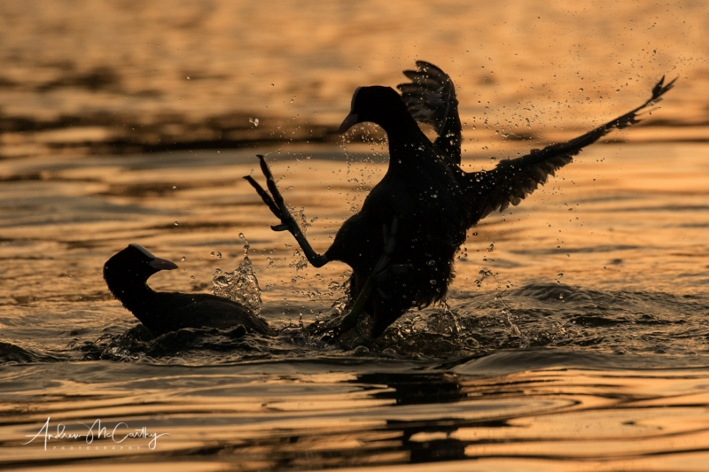 coot-fight