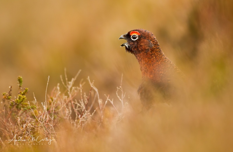 red-grouse-3-Edit