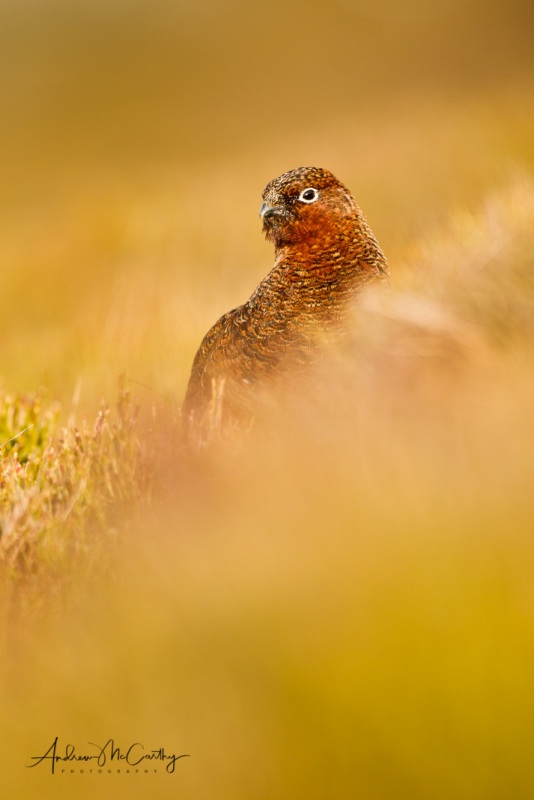 red-grouse-5