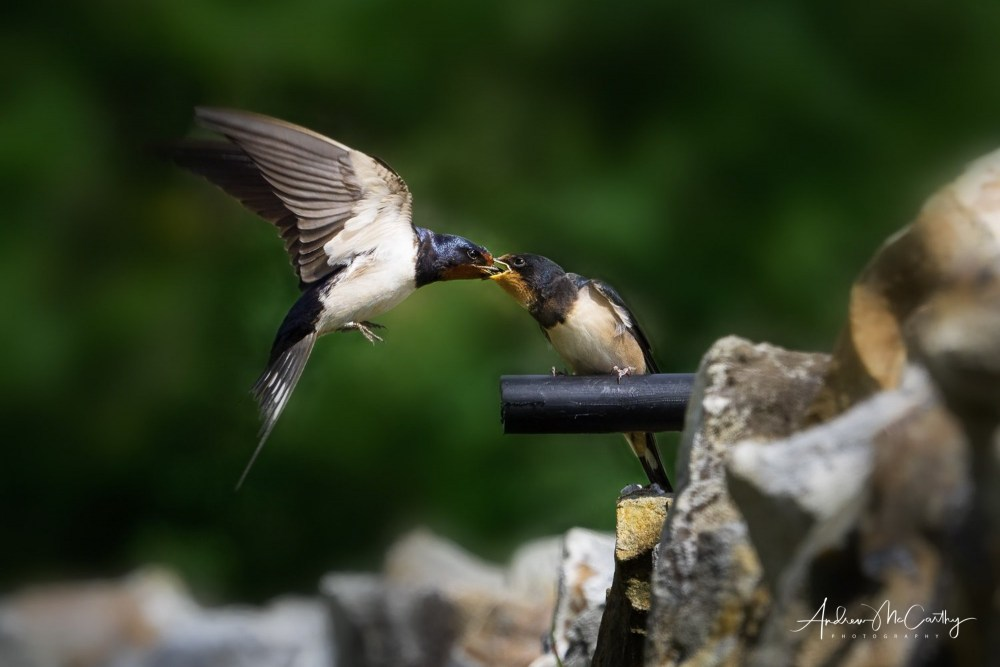 swallows-lost-image