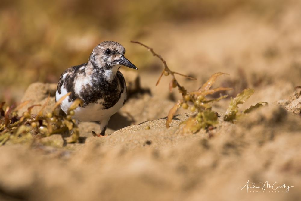 Turnstone-3-of-10
