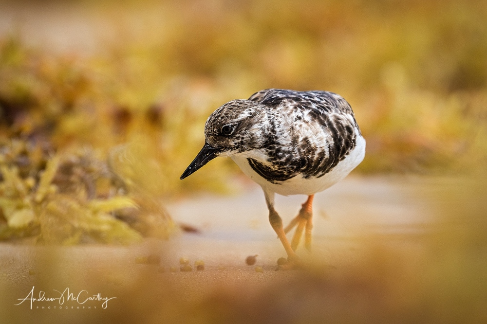 Turnstone-9-of-10-Edit