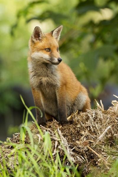 fox-2-3