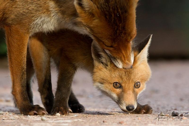 fox_cub-10