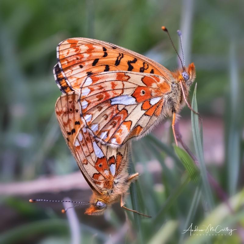 Pearl-bordered-fritilary-mating-Haldon