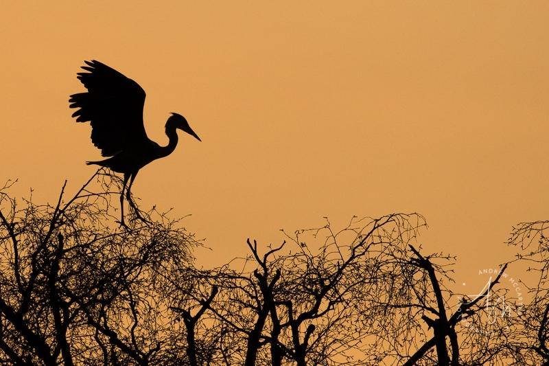 heron-landing-at-sunset