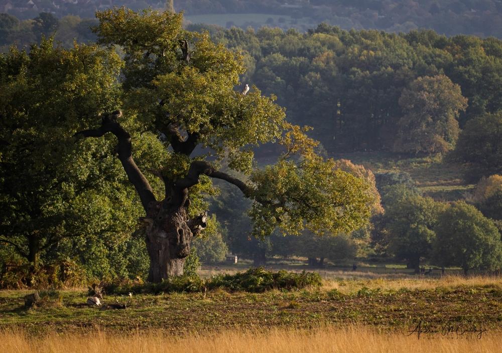 ancient-oak-Bradgate-Park