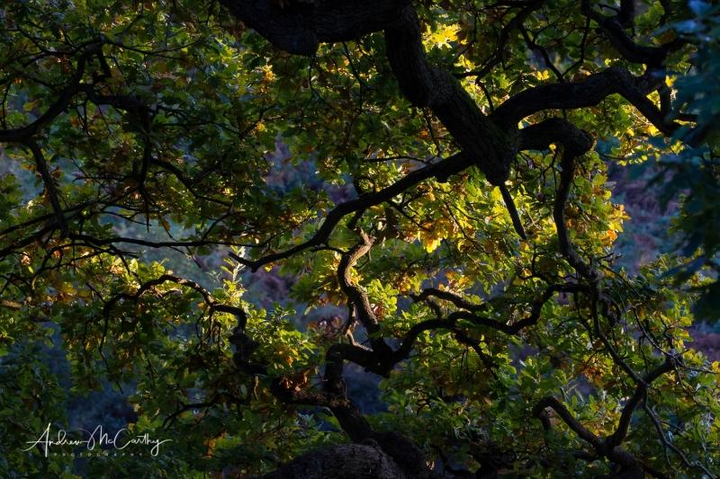 oak-canopy