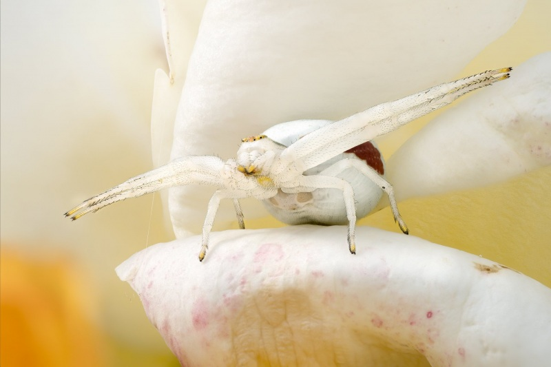 1_McCarthy_Andrew_Crab_spider-1-of-1