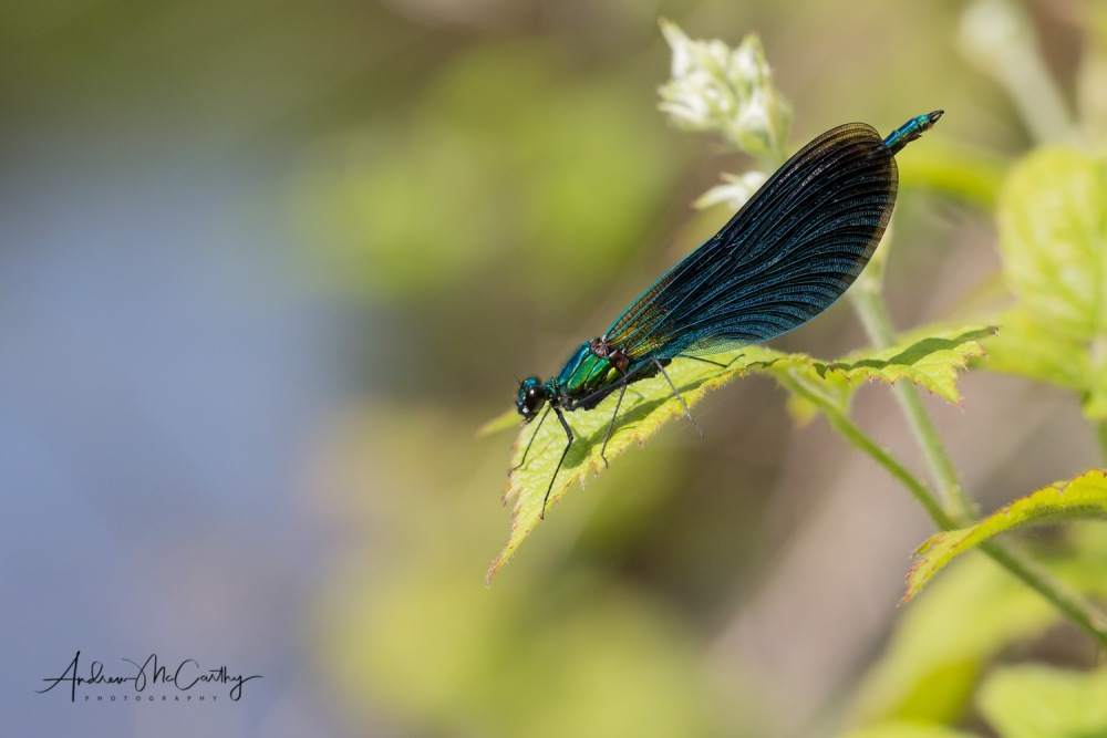 Beutiful-demoiselle-damselfly-3-of-4