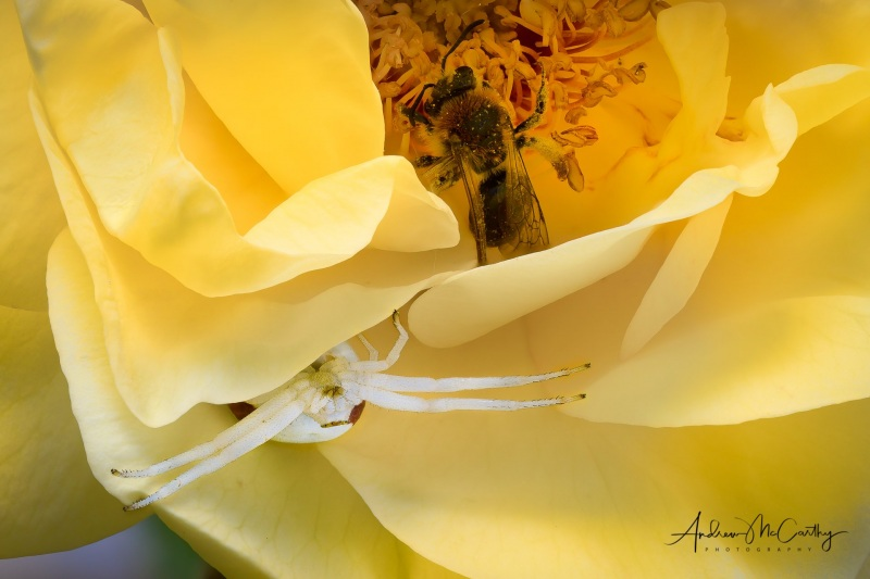 McCarthy_Andrew_Crab_spider-1-of-1