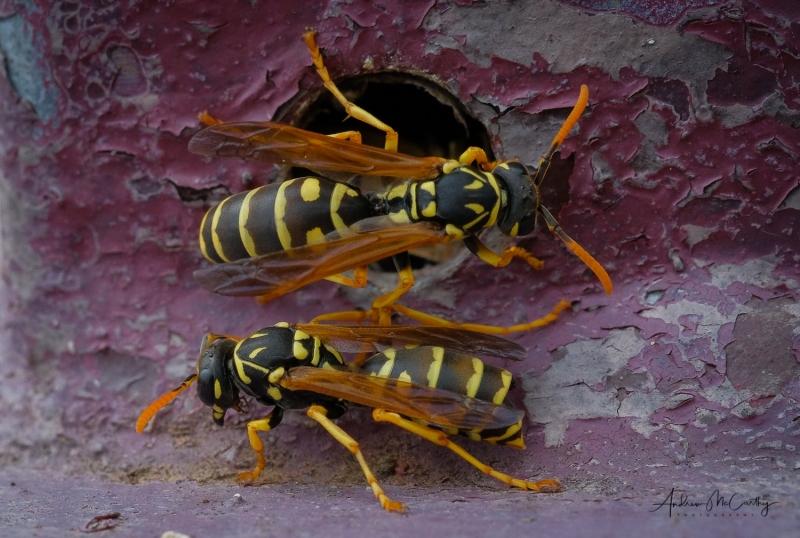 Social-wasps-Italy-1-of-1