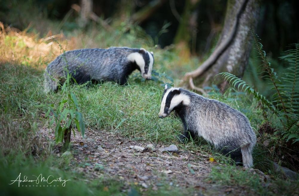 Badger-2-of-6