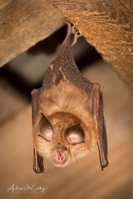 Lesser-horseshoe-bat-2-of-2-Edit