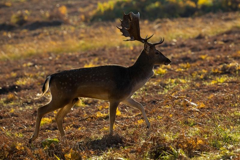 fallow-deer-1