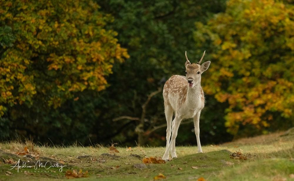 young-fallow-buck