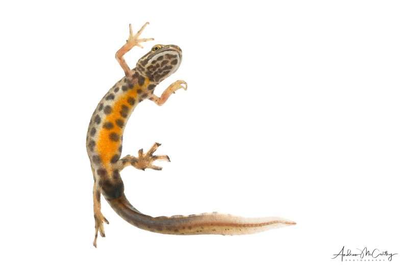 Common-newt-1-of-1