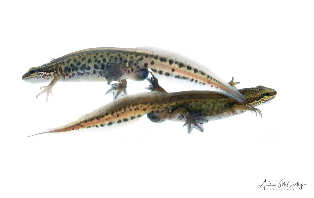 palmate-newts