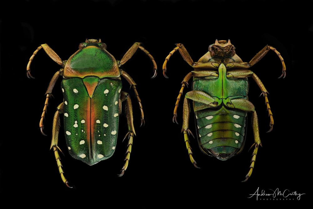 Beetle-composite