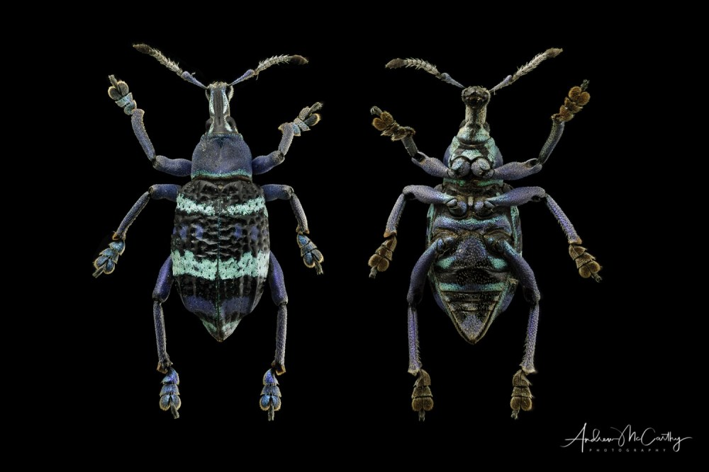 Blue-weevil-composite