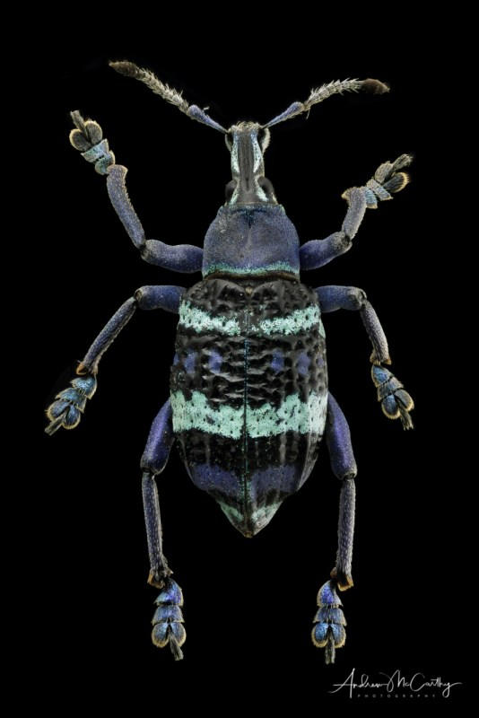 Blue-weevil-stacked-1